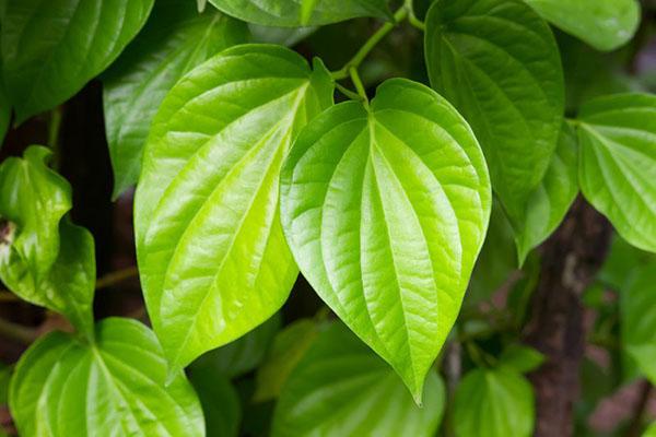 chữa khí hư có mùi hôi bằng lá trầu không